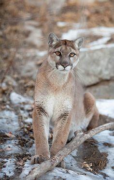 Puma mountain lion cougar