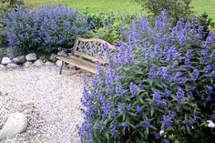 """(Caryopteris x clandonensis)Zones: 5-9 Why he plants it: """"A deer-resistant shrub that blooms when you least expect to see blue: in late summer."""" Details: The mounding habit of caryopteris makes it perfect as a low border plant in masses and works wonders in dry, sunny spots. Hundreds of blue 1-foot-long flower spikes cover this plant in late summer. Habit: Reaches 2 to 3 feet high and wide. Care: Grow in very-well-drained sandy soil, in full sun; thrives on neglect. For a strong, de..."""