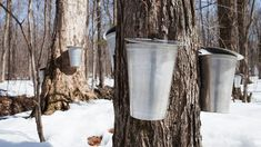 No more pancake syrup? Climate change could bring an end to sugar maples | Science | AAAS