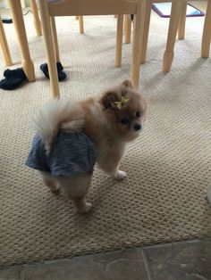 Short shorts #pomlife #pomeranian