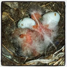 Hatchling sparrows