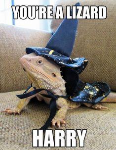 bearded dragon meme - Google Search