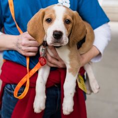 Major Hound mix (3 m/o)  Available for adoption from @hspc.lr.ar  Little Rock Arkansas #thedogist