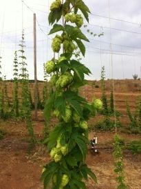 Hop vines - green