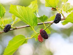 15 Lesser-Known Berries You Should Try MULBERRY