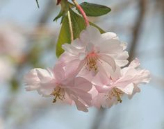 Double-flowered Cherry Blossoms - Blossom - Wikipedia, the free encyclopedia