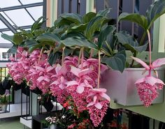 Medinilla Magnifica-This is a very beautiful plant that i love but i fear it wouldn't grow well in heated room conditions..