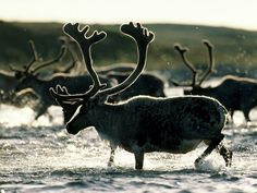 Caribou migrate north each summer in one of the greatest wildlife spectacles on Earth. Feeding mostly on grasses and plants in the summer, caribou eat lichen and mushrooms during winter.