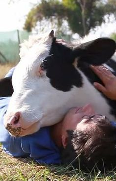 Salvador the bull was rescued from a hellish life on a cruel dairy farm where he was forced into a tiny cage where he had to sleep in his own feces. But this sweet cow was rescued and he now lives at a sanctuary where his main hobby is snuggling.