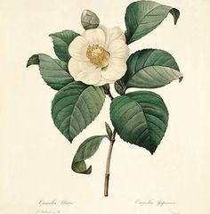 redoute flower art camellias - Google Search