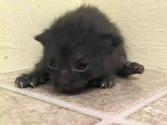 Baby Mars is doomed to die in less than 1 hour.   Only 3 weeks old! At the ACC shelter in New York City URGENT visit pets on death row on Facebook
