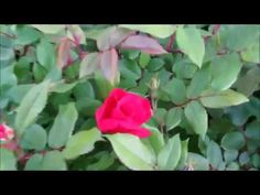 🌹Knock out Rose update first rose flower opened 6/3/2017🌹