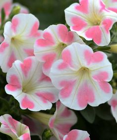 Petunia 'Surfinia Heartbeat' Spring is near, can't wait to plant the beautiful 'Surfinia Heartbeat' petunia in the garden! Exotic Flowers, Amazing Flowers, Pretty Flowers, White Flowers, Strange Flowers, Beautiful Flowers Garden, Petunia Plant, Petunia Flower, Flower Beds