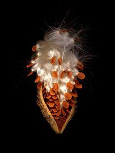 """Milkweed Seed Pod Front"" by Julian Chandler"