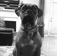 WagAware Ambassador Leo in his WagAware Rescue Bling. He's VERY serious about supporting his friends at Blue Ridge Boxer Rescue!! 50% of profits get donated to rescue groups like BRBR. Get your WagAware Charms at www.WagAware.com
