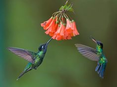 Photo of the week winner: Magnificent and Fiery-throated Hummingbirds - BirdWatching