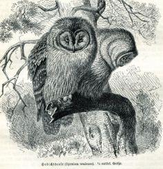 1893 Owls Birds Syrnium Uralense Antique Engraving Print Brehms | eBay