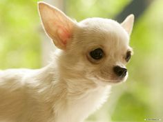 pictures of chihuahuas | Gorgeous Chihuahua - Chihuahuas Wallpaper (16750789) - Fanpop fanclubs