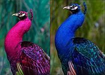 Are pink peacocks real - photo#9