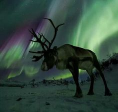 """On Feb. 20th, the sky exploded over northern Norway!"""" says photographer Ole Salomonsen. """"In this shot I am laying on the frozen ground really close to the reindeer. He held still for a 1.6 second exposure.""""  February 20, 2014. Ole Salomonsen, photographer."""