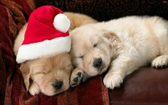 Labrador puppies | Christmas Labrador Puppies Pictures and Wallpapers
