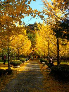 In HongChun ginkgo forest.