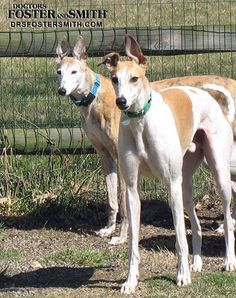 I love greyhounds and so desperately want one! Adopt retired racing greyhounds - they so need good homes!