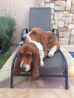 basset-hounds-summer-sun