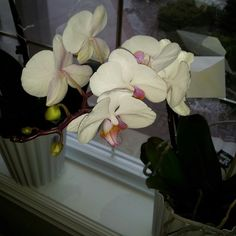 My white orchid
