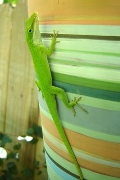 wikiHow to Care for Green Anole Lizards -- via wikiHow.com