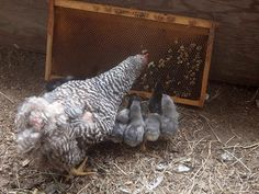 Chickens and Bees Together? - Mama chickens can make excellent junior beeks! This molting mama is giving her little ones a drone-eating lesson.  Photo by Miller Compound HoneyBees and Agriculture, check them out on Facebook!