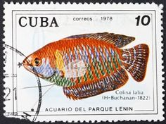 CUBA - CIRCA 1978: A postage stamp printed in the Cuba shows Colisa Lalia (Dwarf gourami ) - south asian labyrinth fish, circa 1978