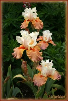Tall Bearded Iris -- Photo by Lillian Egleston//beautiful and unusual color combination Iris Flowers, Exotic Flowers, Amazing Flowers, Spring Flowers, Planting Flowers, Beautiful Flowers, Iris Garden, Bearded Iris, Plantation