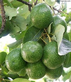 Avocado Choquette. Choquette is a late season favorite Florida avocado producing very large fruits. The fruit is very large, with an oval shape is glossy, smooth, green skin.