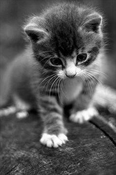 He is three times the size of a normal feline. Cute Cats And Kittens, I Love Cats, Crazy Cats, Kittens Cutest, Pretty Cats, Beautiful Cats, Animals Beautiful, Cute Baby Animals, Animals And Pets