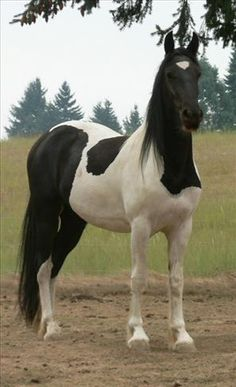 Friesian Pinto - 50/50 Black Tobiano Filly.