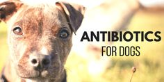 When your pup is sick, all you want to do is make them better. But should you be using antibiotics on your dog? Antibiotics For Dogs, Animal Medicine, What Can I Do, Home Remedies, Puppy Love, Your Dog, Sick, Pitbulls, Wrens