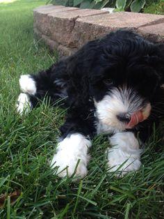 """Our cute Portuguese Water Dog, Brisket! :)"""