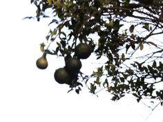 """""""Frutas em fundo branco"""" - Isaias Farias (Fevereiro de 2015)."""