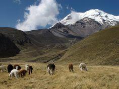 LLamas in the Ecuadorian Andes