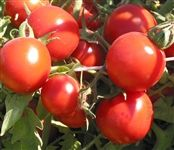"""Amy's Sugar Gem. Produces 2 oz., 1 1/2"""" golf ball sized, red, meaty, juicy tomatoes that have a small core and delicious sweet, well-balanced flavors. A perfect choice as a snacking tomato, salad tomato or for tomato sauces. Sweet! """"Candy-on-the-vine,"""" not to be missed!"""