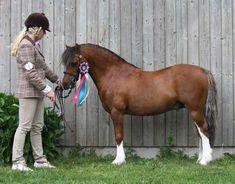 Welsh Mountain Pony (section A) - stallion Wellbank Maverick.