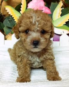 Toy Maltipoo Teacup Puppies For Sale Wwwmaltipoopuppiesus
