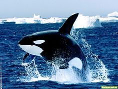 whales pictures | Animales Acuaticos