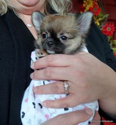 (The pictures above are past Hill Country Chihuahuas! The pictures below are puppies that are now in. Cute Baby Puppies, Chihuahua Puppies For Sale, Dogs And Puppies, Deer Chihuahua, Blue Merle Chihuahua, Pictures Of Chihuahuas, Dog Corner, Dog Design, Beautiful Dogs