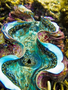 Giant Clam in Koh Tao, in Thailand