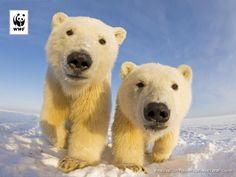 Hello there! Polar Bear -WWF