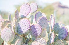 Cactus print, Prickly pear, Purple prickly pear cactus, cactus photo, garden…