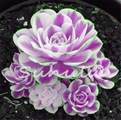 Seeds Shopp Flower Pots Planters Mix Succulent Seeds Lotus Lithops Pseudotruncatella Bonsai Plants Seeds for Home & Garden Hot Sale 100 Pcs Colorful Succulents, Types Of Succulents, Cacti And Succulents, Planting Succulents, Growing Succulents, Succulent Names, Succulent Seeds, Succulent Gardening, Container Gardening