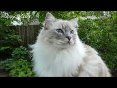 Blue Lynx Mitted Ragdoll Cat Trigg Meowing and Smelling Something Outside - ねこ- Floppycats - YouTube